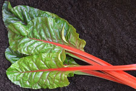 unwashed: Freshly pick Chard laid on dark rich soil, unwashed, selected focus, narrow depth of field. Room for text. Stock Photo