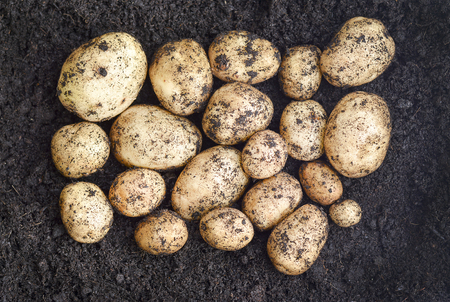 unwashed: Freshly lifted organic pototoes grown in a garden  in dark rich soil,unwashed selected focus, narrow depth of field Stock Photo