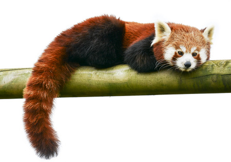 animal behavior: Red panda on a white background could be used as a logo. copy space. Stock Photo