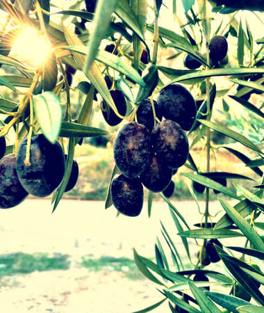 black: Black olives hanging from a tree in the late European sunlight.
