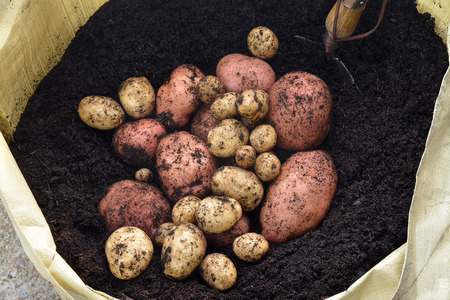 unwashed: Freshly lifted unwashed organic red and white potatoes home grown in a garden from a grow bag in dark rich soil, showing a small shovel Stock Photo