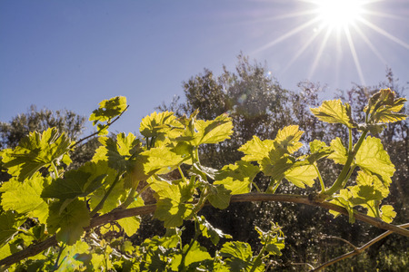 biological vineyard: Sun Flare looking down on back lit grape fins in the Mediterranean Countryside Stock Photo