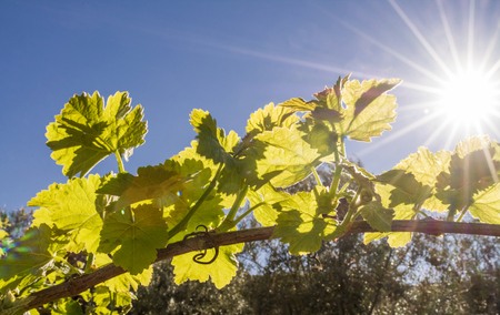 biological vineyard: grape vine back lit by late afternoon sun with len flare in the Andalusia countryside.