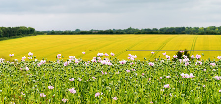 nhs: A field of Opium poppies grown in England for the use of Morphine for the NHS. , taken with a selctive focus for blur background  in the use of  copy space and text Stock Photo