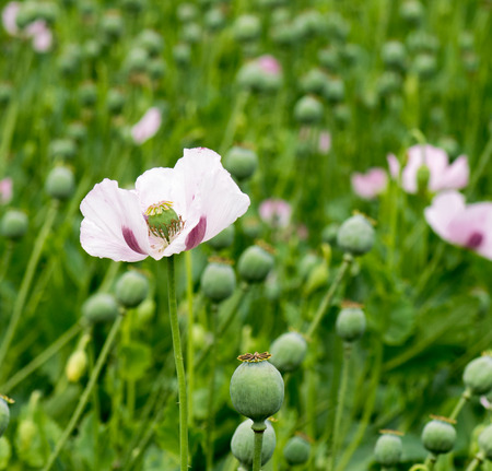 square shot of a Single Opium poppy focus on the subject with a green field background