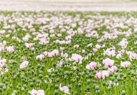 Complete Field full of Opium poppies, shot with sallow depth of field grown for the NHS for the making of Morphine