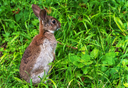 oryctolagus cuniculus: Alert young wild rabbit (Oryctolagus cuniculus) sat up on grass. shot close up room for text and copy space.