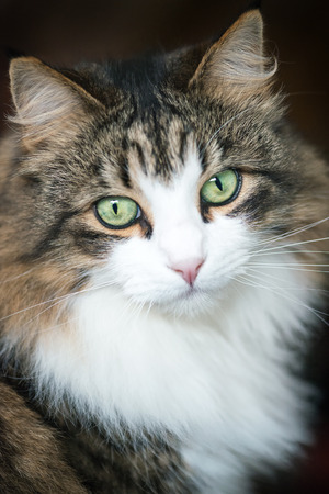 Front view of a beautiful long haired maine coon cat, a soft focus window light shot of a brown, white and black domestic cat looking in to the camera with green eyes in a portrait style on a dark background, Stock Photo