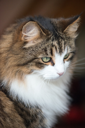 Beautiful Maine coon cat, a soft focus window light shot of a brown, white and black domestic cat sat happily looking down