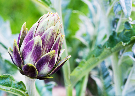Single organic purple artichoke growing in a home garden allotment, background has a soft focus for the use of copy space to the right .