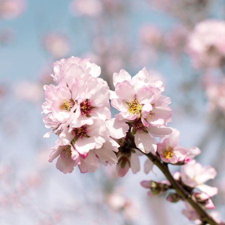 Pretty pink  Almond blossom in a square format with blue sky for background color, room for text and copy space