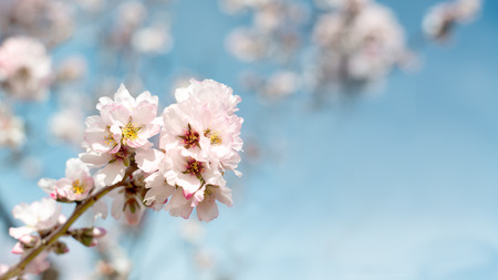 Pretty pink and white Almond blossom in a 16.9 cover format with blue sky for background color, room for text and copy space