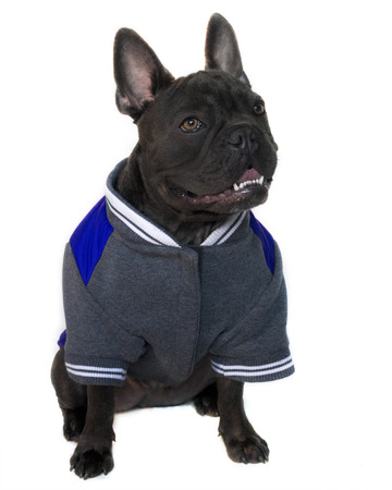 Mascot type portrait, full body of a blue French bulldog dressed in college high school sports gear, on a white isolated background, head up eyes looking sidewards , copy space on jacket Stock Photo