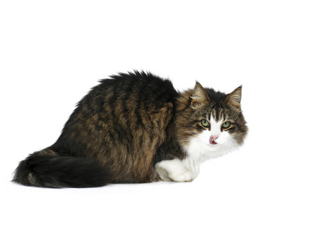 beautiful domestic Maine Coon cat looking at the camera licking his lips space left to add item, ideal for advertising, on a white isolated background text overlay,