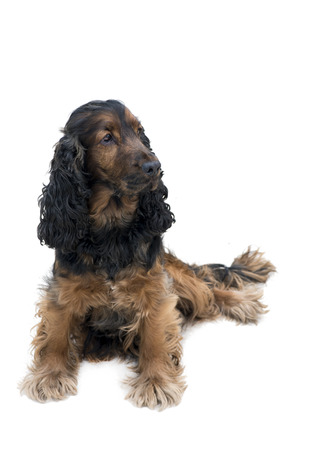 adorable obedient black and tan cocker spaniel sat looking to the side isolated on a white background  Stock Photo