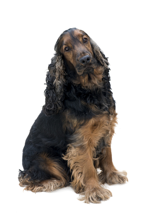 Stunning purebred black and tan cocker spaniel sat looking into the camera isolated on a white background
