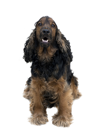 stunning pedigree black and tan cocker spaniel sat showing beautiful white teeth isolated on a white background  Stock Photo