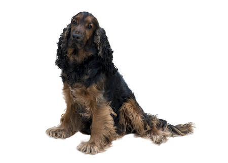 Adorable obedient black and tan cocker spaniel with healthy teeth sat isolated on a white background Stock Photo