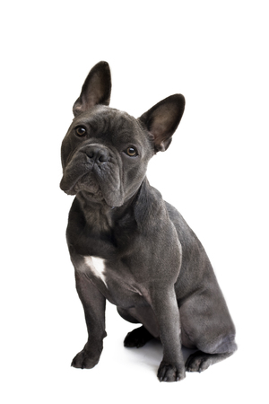 front view of a blue french bulldog attentively looking up with a white isolated background for the use of text and wording
