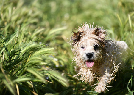small muddy wet dog running through the grass in need of a bath, shot with selective focus with blurred  background to ad copy space Imagens