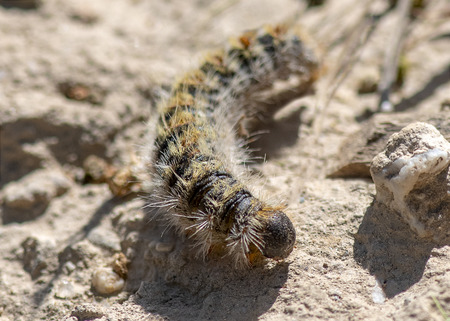 close up seleticve focus of a processionary, caterpillar thaumetopoea pityocampa Stock Photo
