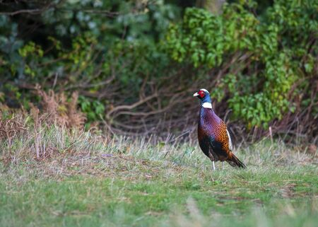handsome pheasant  with beautiful plumage walking on grass with a woodland background shot close up for copy space