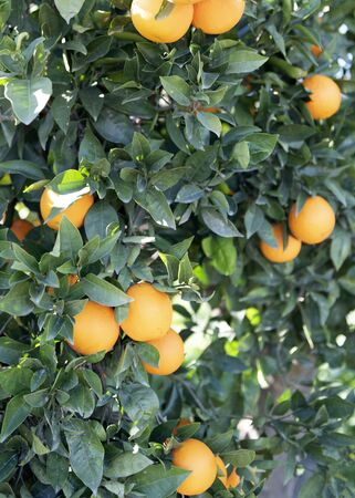 Spanish orange tree with ripe fruit in the Andalusia country side. green background with copy space 免版税图像