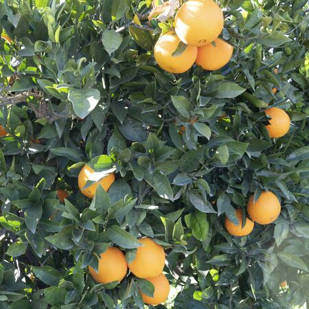 square image of spanishs oranges hanging from a tree growning in the sun copy space on background