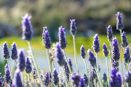 beautiful purple lavender heads against a green country background , shot in selective focus for copy space and text