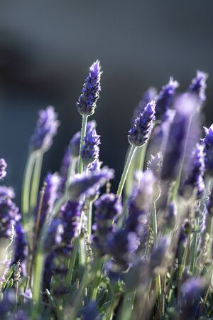 vertical beautiful purple lavender heads agaist a blue background , shot in selective focus for copy space and text
