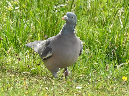 close up of a wood-pigeon walking through the grass taken from ground level on a bright summers day