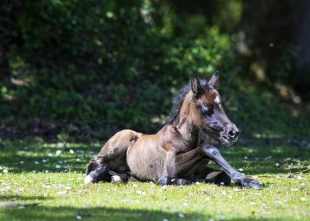 close up and ground level image of beautiful newly born new forest pony resting in the sun copy space in background