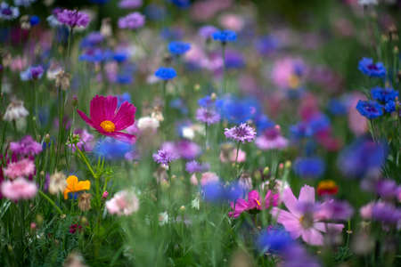 vibrant colorful background of wild flowers in a blurred bokah, shot for copy space and text overlay showing cosmos and cornflowers