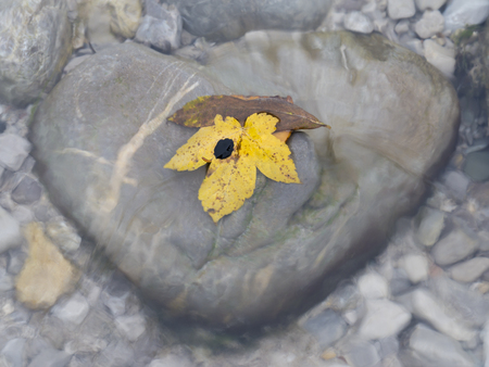 Yellow maple leaf on heart-shaped stone in a river