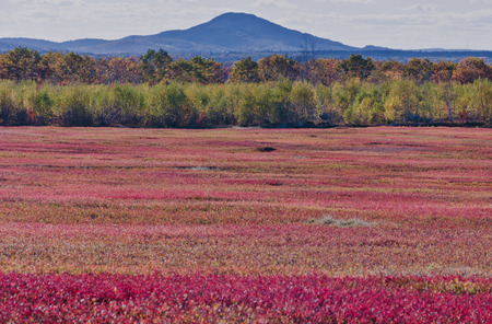 Autumnal blueberry field, Cherryfield, Maine, USA Stock Photo