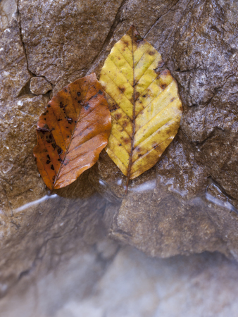 reflektion: Autumnal beech leaves Stock Photo
