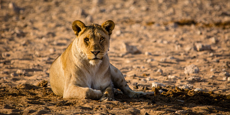 the watcher: A female lion is just looking at the watcher. Soon she  ould attack.