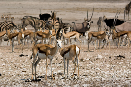 grouping: Many animals are grouping at a waterhole in the Etosha national park in Namibia. Stock Photo