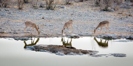 pozo de agua: Three thirsty antelopes are dringing water from a waterhole in the Etosha Namibia.