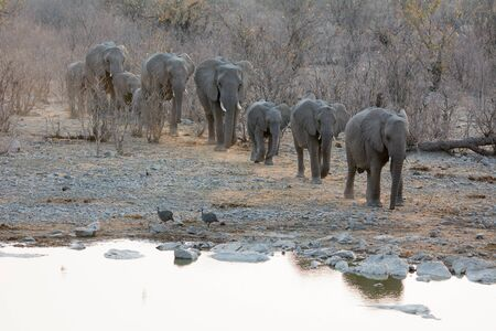 one lane: A group of African elephants is walking in one lane towards a waterhole. It looks like a caravan in the Etosha Namibia. Stock Photo