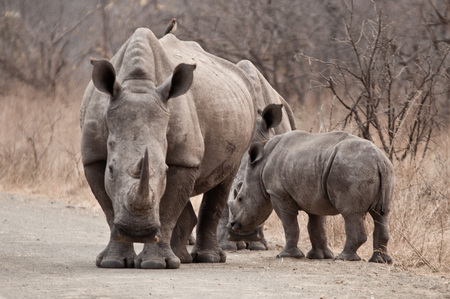 safari game drive: Some Rhinos are looking for followers on an safari game drive in South Africa.