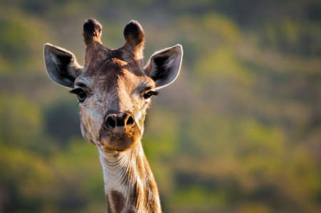 looking at viewer: A giraffe is looking at the viewer in a safari nationalpark in South Africa. Typical animal on an African safari.