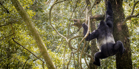 silverback: A silverback gorilla is climbing down a tree in the jungle of the mountains in Uganda Africa. Stock Photo