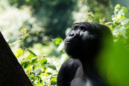gorila: Un gorila de monta�a en el Bosque Impenetrable de Bwindi en Uganda est� mirando hacia los �rboles. Foto de archivo
