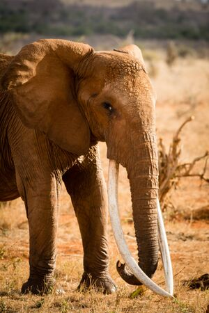 An red elephant of Tsavo East with extreme long tusks in Kenya Africa.