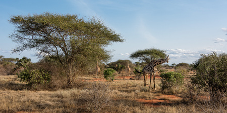 the watcher: Three giraffes are walking in the steppe and looking towards the watcher.
