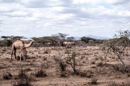 dromedaries: Dromedaries walking in the African steppe of Kenya.