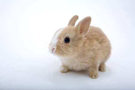 Cute brown-white bunny, isolated on white