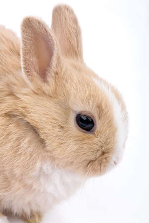 Cute brown-white bunny, isolated on white photo