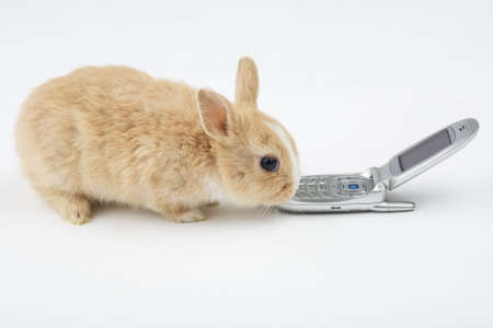 brown-white bunny with mobile phone, isolated